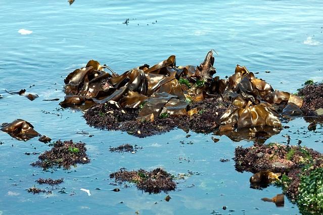 mořské řasy kelp na pobřeží